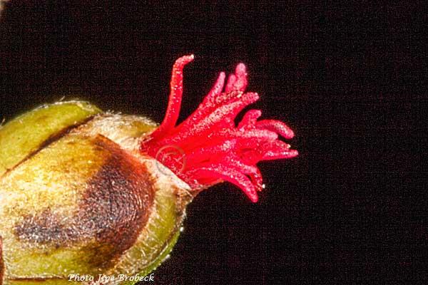 Noisetier-fleur-femelle