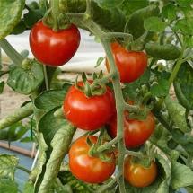 11-tomate-gardeners-delight