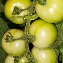 tomate3