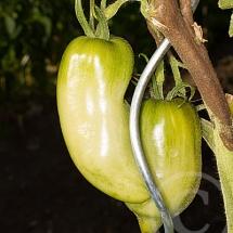 tomate9