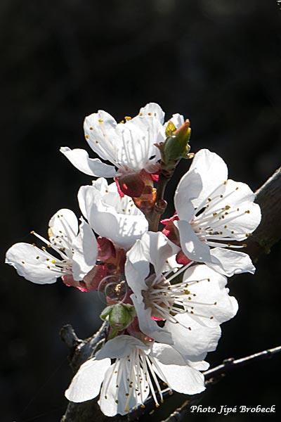 abricotiers en fleurs trucapapy. Black Bedroom Furniture Sets. Home Design Ideas
