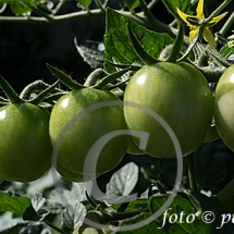 Tomate13
