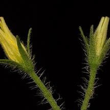 Fleur-et-graine-de-tomate14w