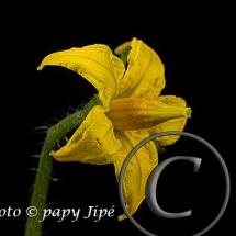 Fleur-et-graine-de-tomate17w