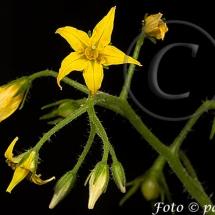 Fleur-et-graine-de-tomate18w