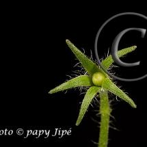 Fleur-et-graine-de-tomate22w