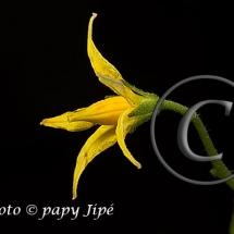 Fleur-et-graine-de-tomate5w