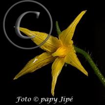 Fleur-et-graine-de-tomate6w