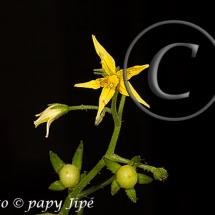 Fleur-et-graine-de-tomate9w
