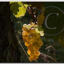 Automne dans le vignoble alsacien22
