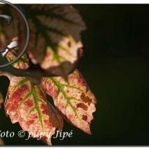 Automne dans le vignoble alsacien5