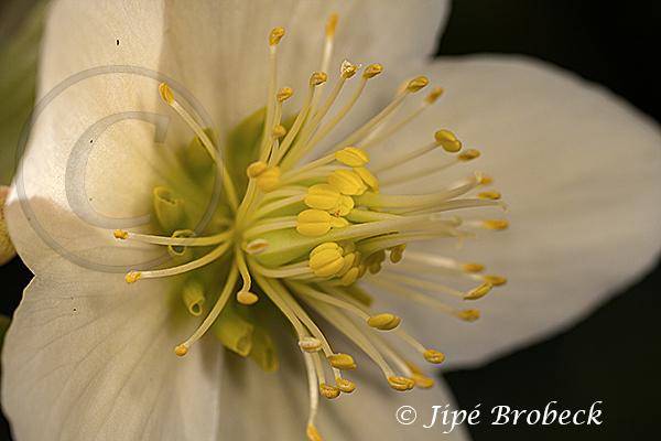 Hellebore blanche