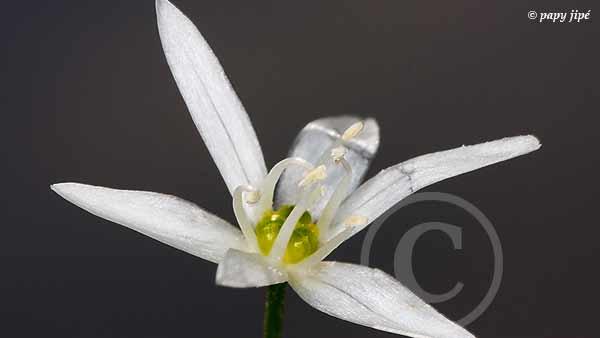 la fleurs a une forme d'étoile