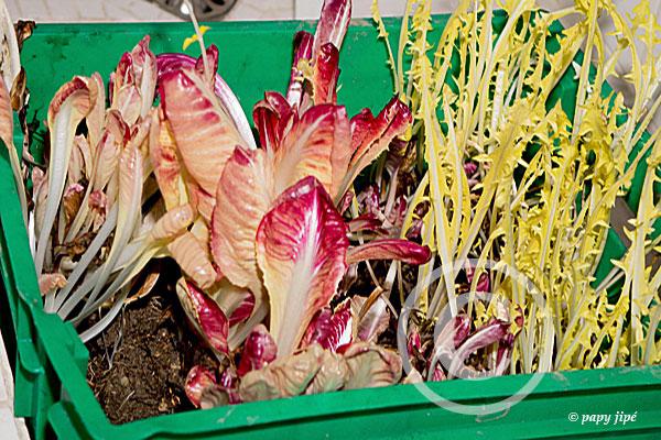 1/2 caisse de rouge de Vérone 1/2 caisse de pissenlit Vous mangez de la salade en plein hiver
