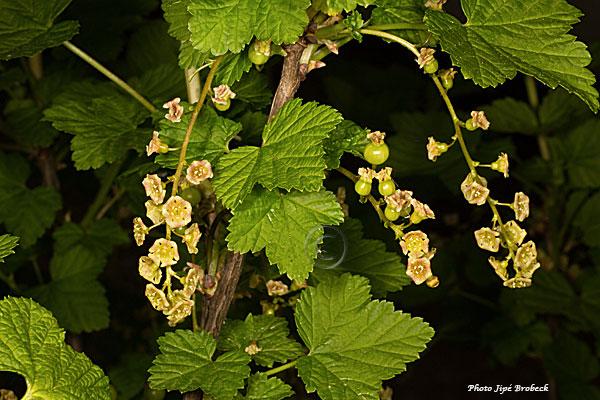Fleurs de groseilles et fruits déjà fécondés
