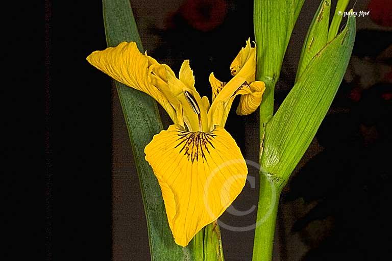 iris sauvage1