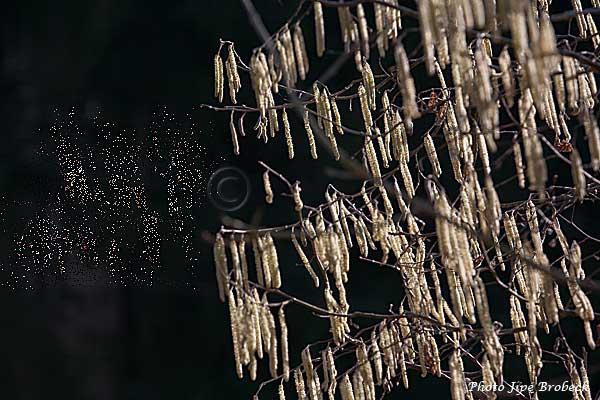 Noisetier-le-pollen-s'envole