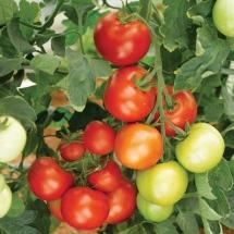 12-tomate-moneymaker