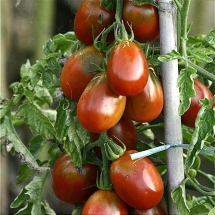 14-tomate-prune-noire