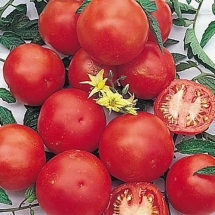 17-tomate-f1-harzfeuer