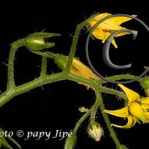 Fleur-et-graine-de-tomate10w