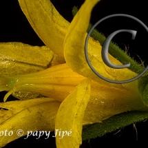 Fleur-et-graine-de-tomate19w
