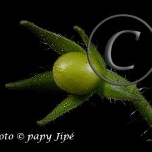 Fleur-et-graine-de-tomate24w