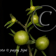 Fleur-et-graine-de-tomate26w