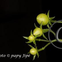 Fleur-et-graine-de-tomate29w