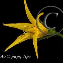 Fleur-et-graine-de-tomate3w