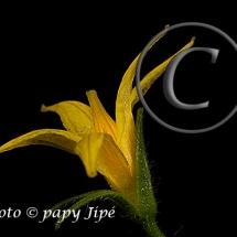 Fleur-et-graine-de-tomate4w