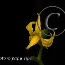 Fleur-et-graine-de-tomate7w
