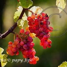Automne dans le vignoble alsacien21