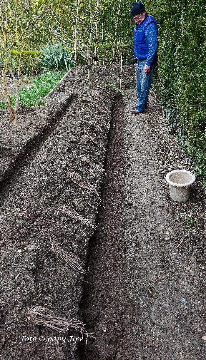 Comment Planter Des Asperges planter des asperges blanches et des asperges vertes
